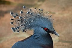 Close up side portrait of Victoria crowned pigeon stock photography