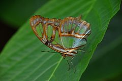 Green and brown tropical butterfly on leaf. Close up side profile portrait of one beautiful big vivid green and brown tropical rainforest butterfly with folded stock photos