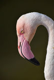 Close up side profile portrait of pink flamingo Stock Image