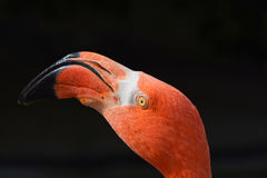Close up side profile portrait of pink flamingo Royalty Free Stock Photos