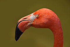 Close up side profile portrait of pink flamingo Royalty Free Stock Images