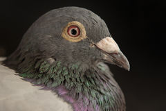 Close up side view beautiful head shot of speed racing pigeon bi Stock Photos