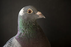 Close up side view beautiful head shot of speed racing pigeon bi Royalty Free Stock Image