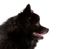 Close up side view of black fur of pomeranian puppy dog isolated white background Stock Photos