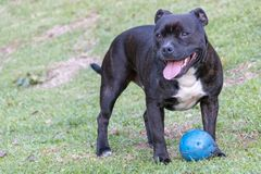 A Dog And His Play Toy stock images