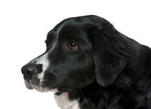 Close-up side view of Border Collie, 2 years Royalty Free Stock Images
