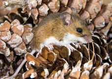 Close up side view of a brown house mouse in a pile of pine cones. Stock Image