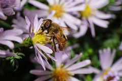Close-up side view of Caucasian big fluffy flower flies are with. Open wings collecting nectar and pollen from a white and pink flower Alpine aster Stock Photography