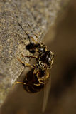 Close-up side view of Caucasian brown striped of a winged ant. Close-up side view of a curved upright sitting brown caucasian of a winged ant with wings, abdomen Stock Image