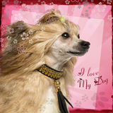 Close-up of a side view Chinese Crested Dog with fancy collar Stock Image
