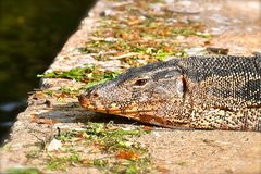 Close up of a monitor lizard royalty free stock photography