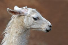 Side view of head of a white lama with long lashes on blurry background royalty free stock photo