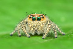 A close-up side view jumper spider Hyllus cf. semicupreus. Royalty Free Stock Photos