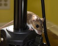 A brown house mouse, Mus musculus, climbing on black instrumentation. Close up side view of a juvenile house mouse peeking around from behind black technical royalty free stock images