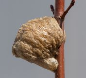 Close up side view of a light brown Praying mantis nest on a twig. The close up, side view of a light brown Praying mantis nest on a medium brown twig with stock photos