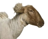 Close-up side view of Mourerou sheep wearing bell in front of white background royalty free stock photo