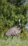 Close up side view portrait of an emu bird Stock Images