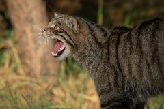 A fierce snarling scottish wildcat. A close up side view portrait of a scottish wildcat facing to the left with its mouth open snarling and showing teeth stock images