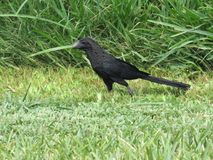 Sleek black bird running on green grass. Close-up side view shot of a sleek black bird running in low grass in front of tall wild green grass Royalty Free Stock Photo