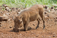 Close-up side view of a warthog searching for food. Phacochoerus aethiopicus royalty free stock photos