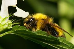 Close-up side view of a yellow and black bumblebee Bombus lucoru. Close-up side view of a yellow and black large Caucasian bumblebee Bombus lucorum sitting vrole royalty free stock images