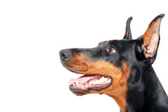 Close up sideview of dobermann pinscher Royalty Free Stock Photo