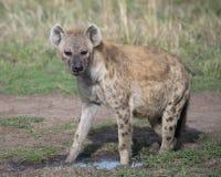 Close-up sideview van bevlekte hyena die naar de camera kijken Stock Fotografie