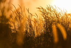 Close up silhouette tropical grass flower on sunset Stock Image