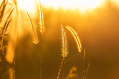 Close up silhouette tropical grass flower on sunset. Close up silhouette tropical grass flower or setaceum pennisetum fountain grass on sunset background royalty free stock photography