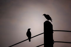 Close up silhouette two couple bird perched on electric pole. With copy space Royalty Free Stock Photo