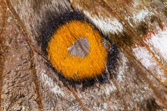 Close up silk moth Royalty Free Stock Photos