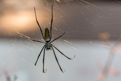 Close-up of a silk spider in its web.  Stock Image