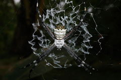 Close-up of silver argiope spider on its web Stock Photo