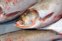 Silver carp Stock Images