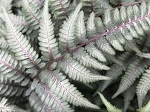 Close Up of Japanese Painted Silver Leaf Fern. Feathery fractal like silver leaf fern covers forest floor. Purple details visible on green gray leaves Royalty Free Stock Image