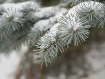 Close up silver spruce tree branch covered by snow royalty free stock images