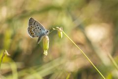 Close up of the silver-studded blue butterfly Plebejus argus res. Ting on vegetation Stock Photos