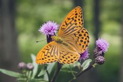 Close-up of Silver-washed fritillary butterfly. Royalty Free Stock Photo