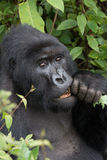 Close-up of silverback gnawing branch in forest Stock Photography