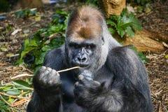 Silverback Gorilla eating out of a kong royalty free stock photos