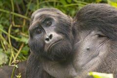 Close-up of a Silverback Mountain Gorilla Stock Photo