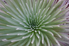 Close up silversword flower in Maui Hawaii. Close up of the center of a rare silver sword plant. Haleakala National Park, Maui Hawaii Stock Photo