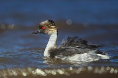 Close up of silvery grebe swimming in freshwater lake. With food for the chicks in Falkland Islands stock photography