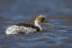 Close up of silvery grebe swimming in freshwater lake. In summer, Falkland Islands royalty free stock photography
