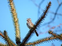 Close-up of a singing sparrow Stock Photography