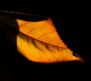 Close up of single autumn leaf Royalty Free Stock Photos