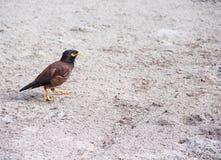 Single bird walking in the beach royalty free stock image