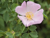Close up single blooming pink brier wild rose flower dog rose royalty free stock photography