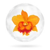 Close up single bright orange orchid in bubble on white background. Royalty Free Stock Photos