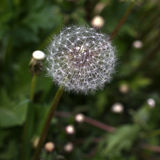 Lonely dandelion. Close up of single dandelion flower in the end of spring royalty free stock photography